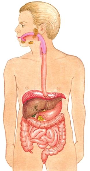 Tubo-digestivo