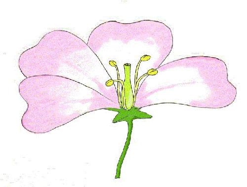 partes-flor